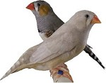Finches on Sale!